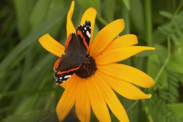 Butterfly Red Admiral (Vanessa atalanta) with open wings. Butterfly with orange bands on yellow flower. Front view.