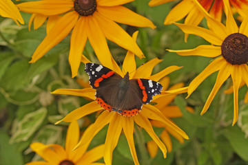 Butterfly Red Admiral (Vanessa atalanta)  on flowers of Rudbeckia(coneflowers). Butterfly with orange bands on yellow flower. View from above.