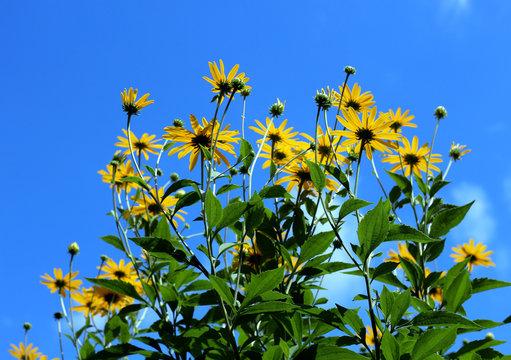 black eyed susan against blue sky