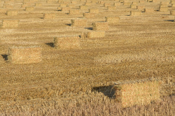 Rows of hay bales