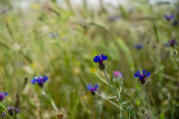 Fresh beautiful violet and purple little wild flower among soft light blurred green leaves grass field background on sunshine day, selective focus