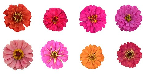 colorful Zinnia violacea flowers multi color in pink orange yellow top view flat lay spring summer nature isolated on white background with work clipping path