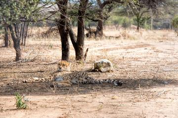 Cheetahs from Namibia