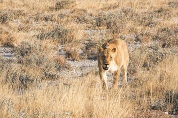 lioness in etosha in Namibia