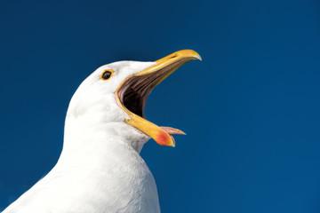 gulls in Namibia