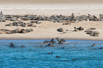 colony of sea lions in Namibia