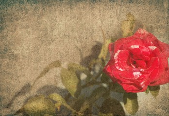 Rose red on grunge background
