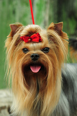 Yorkshire terrier muzzle close-up