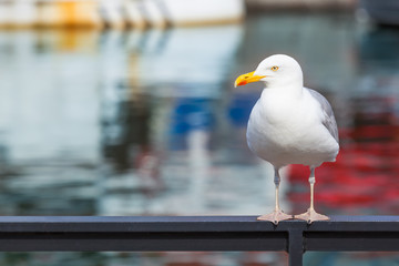 Big Harbor Seagull / Seagull with yellow beak standing at railing, defocused part of boat and mirroring water surface at background (copy space)