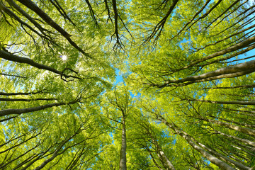Beech Trees Forest from below, Early Spring, fresh green leaves Wall mural
