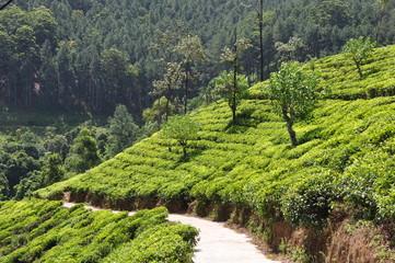 tea plantation sri lanka