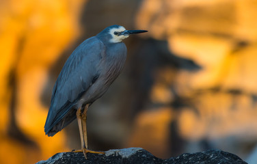 White-faced Heron at the Beach