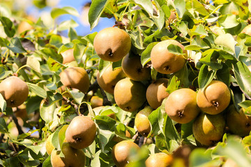 Lots of pears on a tree branch