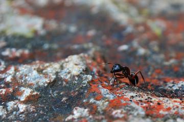 camponotus ant