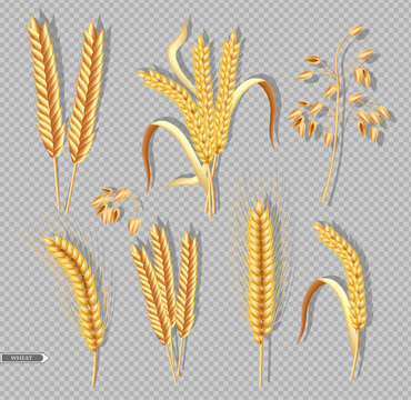 Wheat ears isolated on transparent background Vector realistic. Detailed dried whole grains set. Cereals harvest, agriculture, organic farming. Healthy Bakery design elements