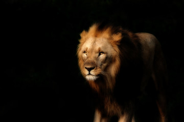 Strong lion on the black background