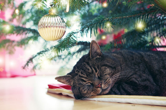 Gray cat sleeps under the Christmas tree.