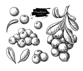 Cranberry vector drawing. Isolated berry branch sketch on white