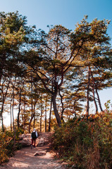 Natural autumn pine forest near Sogang river, Gangwon, South Korea
