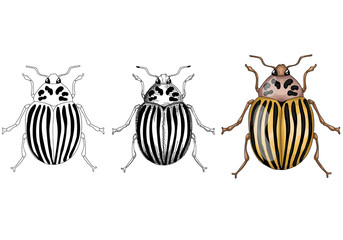 vector illustration with Colorado beetle realistic, sketch and contour on a white background isolated