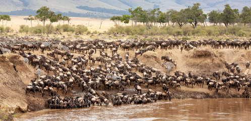 Wildebeest and zebra gather on the banks of the Mara river Wall mural