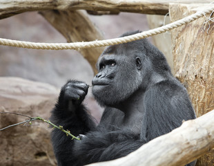 the male gorilla with a twig in his mouth..