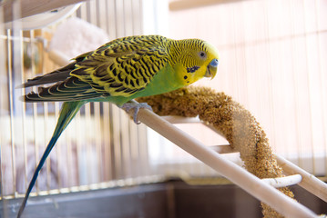 Parrot eats from dry ear grass. Cute green budgie sits in cage Fotomurales