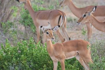 Impala famiglia