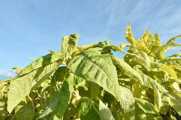 収穫期のタバコの葉