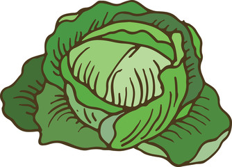 Ripe Green Cabbage