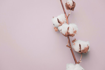 Cotton flower brunch on pastel pale pink paper background, overhead. Minimalism flat lay composition for bloggers, artists, social media,  magazines. Copyspace, horizontal