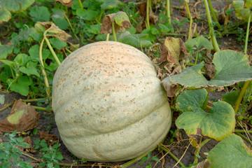 A large green pumpkin in its own garden. A homemade organic green pumpkin grows on a farm among the green thickets. Pumpkin in the garden is on the ground.