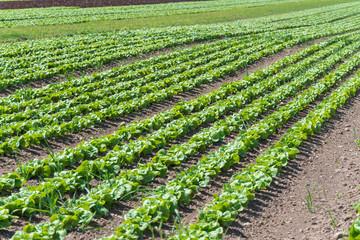 Salatfeld auf der Farm Fotoväggar