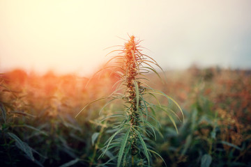 Bush Flowering herb hemp with seeds and flowers sun glint background. Concept breeding of marijuana, cannabis, legalization.