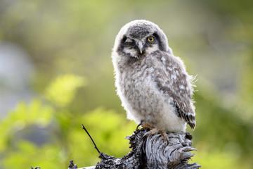 Young hawk owl (Surnia ulula) in Dalen, Telemark, Norway
