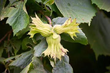 Common hazel (Corylus avellana)