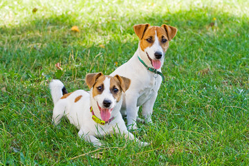 Jack Russell's puppies are played with each other