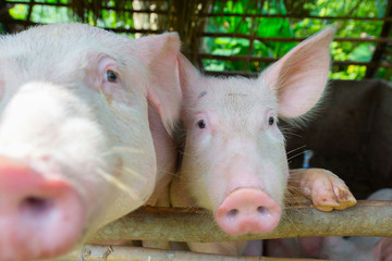 Pigs on a farm are waiting for food.
