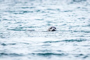 Sea lions on Jökulsárlón Ice Beach