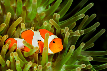 false clown anemonefish, clownfish