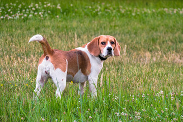 An independent adult Beagle dog on a walk in a city park. The Beagle hound is British, popular all over the world.