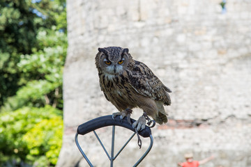 Owl perching at a show