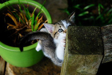 Cute pet kitten climbing post from potted plant.  Cat with blue eyes and stripes.