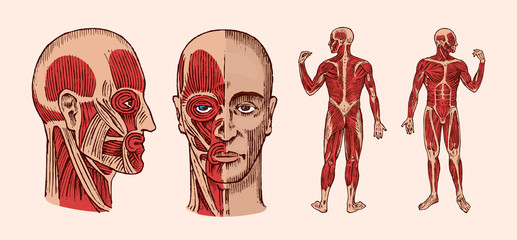 Human anatomy. Muscular and bone system of the head. Medical Vector illustration for science, medicine and biology. Male face Engraved hand drawn old monochrome Vintage sketch. Front and Profile view.
