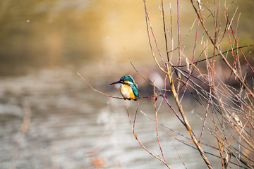 川の小枝に止まり、獲物をねらうカワセミ