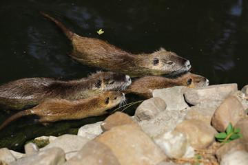 Family of of coypu nutrias, myocastor coypu, swimming in the river