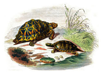 The geometric turtle, The yellow turtle, vintage engraving.
