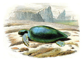 The frank turtle, vintage engraving.