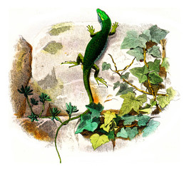The green lizard, vintage engraving.