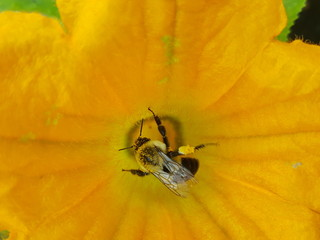 bee collecting pollen in zucchini flower